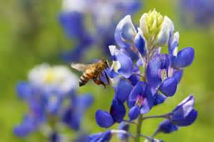 blissful facts about the texas state flower bluebonnet