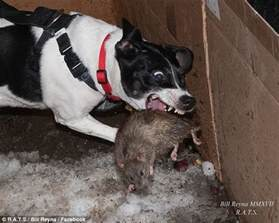 best city dogs new york s rat catching dogs help wipe out city s vermin