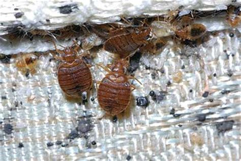 do bed bugs die with alcohol black diamond bed bug faq