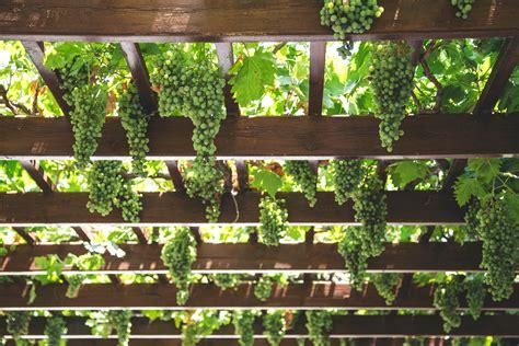 pot tempel anggur free images tree branch fence plant grape vine
