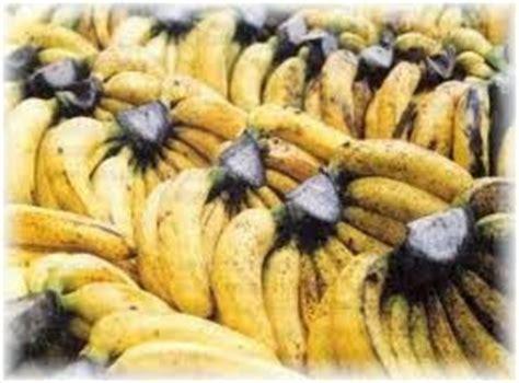Bibit Unggul Pisang Merah bibit pisang unggul purworejo pisang barangan merah dan