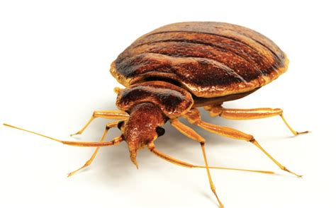 bed bug wings do bed bugs have wings flea treatment center