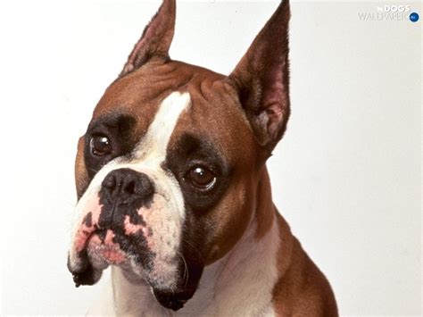 dogs with pointy ears boxer ears pointed dogs wallpapers 1024x768