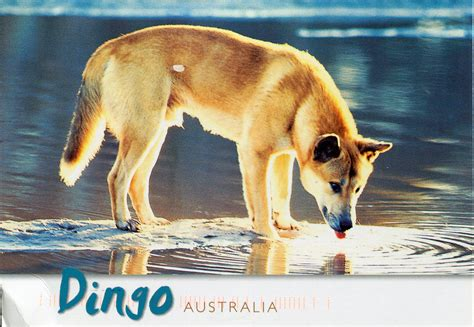 dingo dogs australian dingo related keywords australian dingo keywords