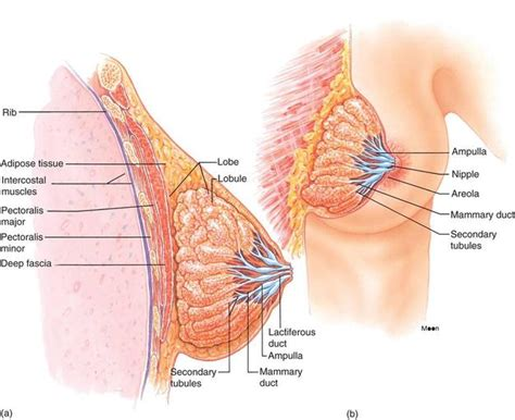 How To Detox Mammary Glands Before Conception collecting ducts
