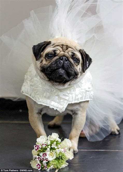 pug in wedding dress two pugs tie the knot in lavish 163 2 000 ceremony princesses and princess