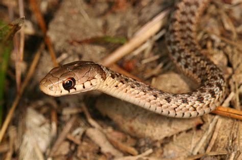 Garden Snake Ny View Topic The Tunnels Garter Snake Rp Discussion