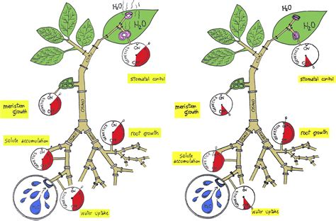 Alabama Stem Path To The Mba by Osmogenetics Aristotle To Arabidopsis Plant Cell