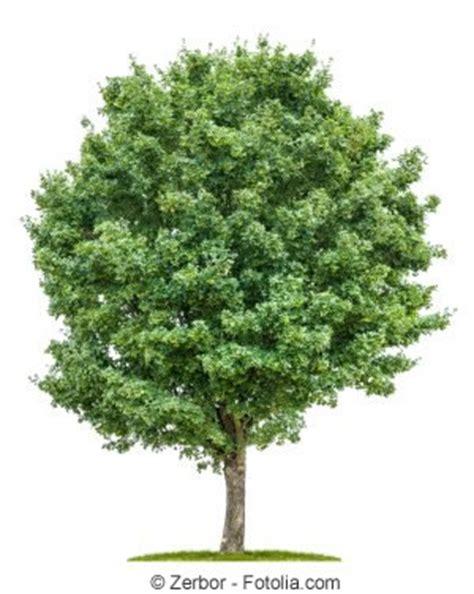 feldahorn als hecke feldahorn acer cestre steckbrief pflanzen schneiden