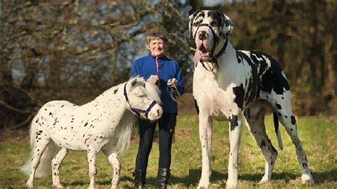 imagenes animales grandes los perros mas grandes del mundo 2017 the greatest dog