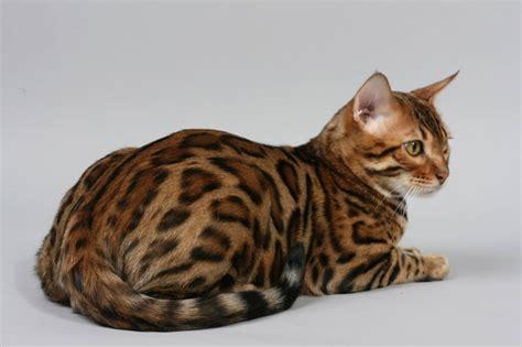 Bengal Cat : Cat Breeds   Cat Mania   For Cat Lovers