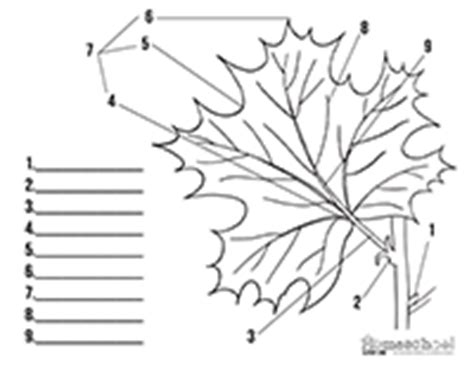 Parts Of A Leaf Worksheet by Pictures Parts Of A Leaf Worksheet Getadating