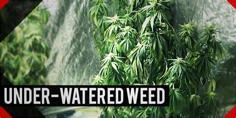 the effect of underwatering your marijuana plants all you need to about watering your plants