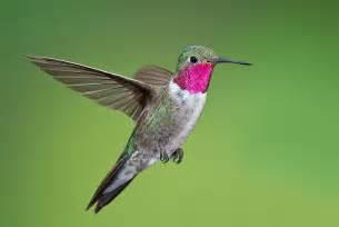 broad tailed hummingbird species hummingbirds plus