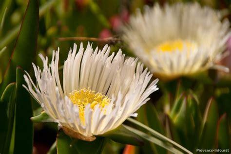 pflanzen der provence blumen und pflanzen der provence provence info net