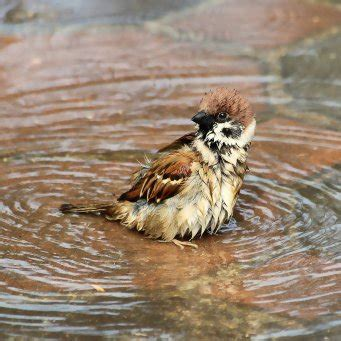 pulcino bagnato как ведут себя воробьи осенью