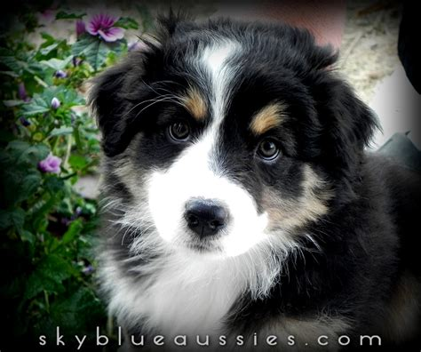 black australian shepherd puppy beautiful black tri australian shepherd puppy jett see more of our aussies on our
