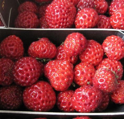 Teh Daun Raspberry tanaman strasberry strawberry x raspberry bibitbunga