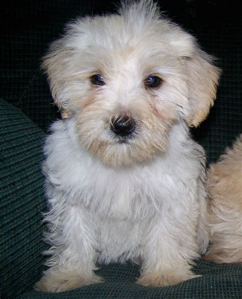 white schnauzer puppy puppy dogs white miniature schnauzer puppies