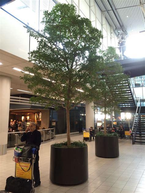 olive garden o hare airport specimen black olive trees at schipol airport amsterdam netherlands airport