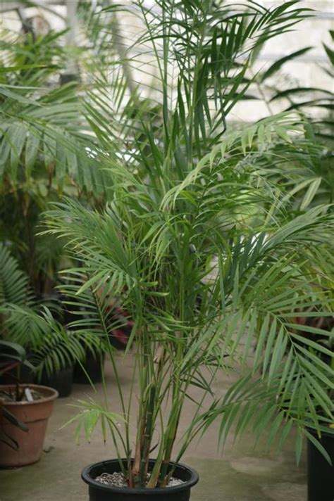 Palm House Plants by Palms As House Plants Culture Of Palm Houseplants The Best