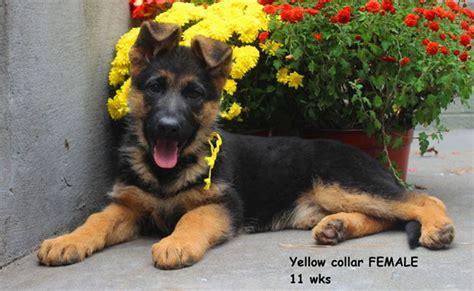 german shepherd puppies for sale in utah hurricane utah s world class german shepherd puppies for sale