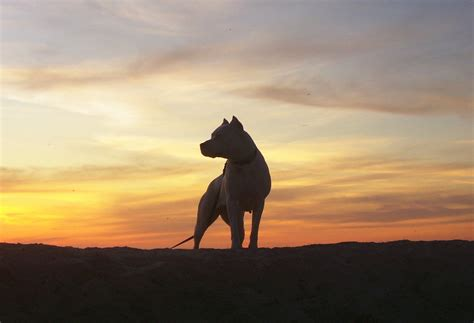 Argentine Dogo against the sunset photo and wallpaper ...
