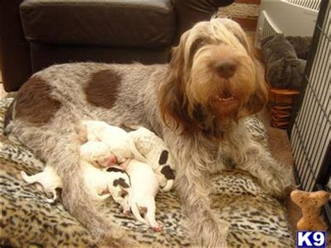 spinone italiano puppies for sale italian spinone 2890