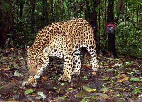 What Part Of The Rainforest Do Jaguars Live In Photos Jaguars Eared In Trap