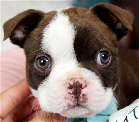 cheap boston terrier puppies for sale boston terrier puppy jacksonville fl merry photo