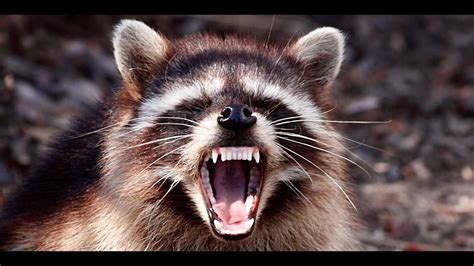 vicious attacks most vicious raccoon attacks on dogs and cats