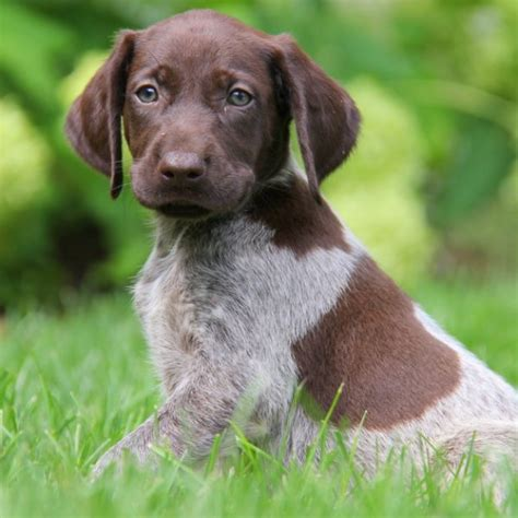 gsp puppy german shorthaired pointer puppies for sale greenfield puppies