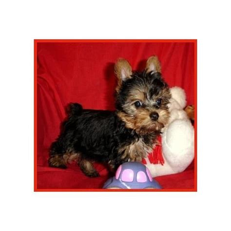 can a teacup yorkie babies 17 best images about teacup babies