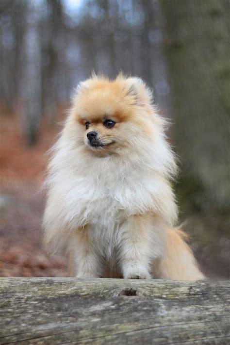 spitz pomeranian les 25 meilleures id 233 es de la cat 233 gorie chien spitz sur chiens
