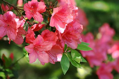 deciduous flowering shrubs things about trees - Flowering Deciduous Shrubs