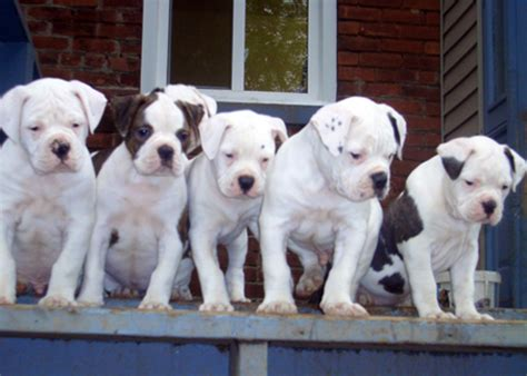 american best puppies american bulldog puppies best puppy pictures