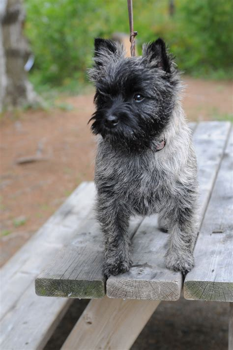 cairn puppies puppies cairn terrier puppies puppies for sale