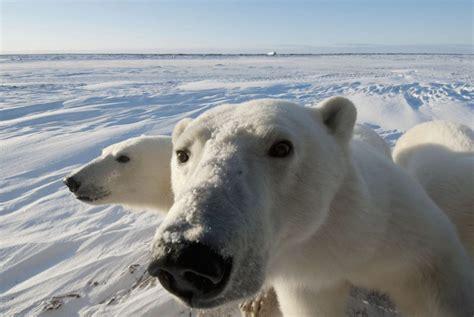 ontario polar bears doomed expert says toronto