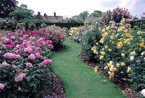 english roses austin s gift to gardeners sfgate