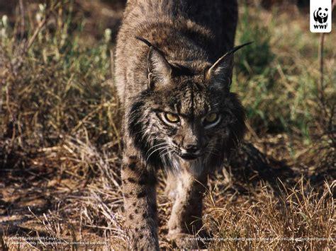 iberian lynx wwf