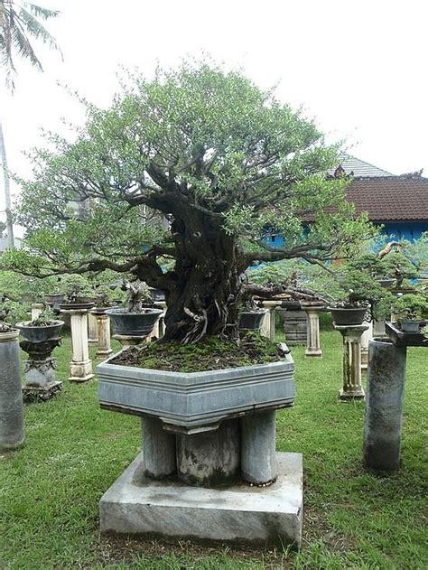 tree trimming ideen 739 besten bonsai bilder auf bonsai pflanzen