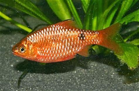 Makanan Ikan Hias Kecil Alami cara membudidayakan ikan barbir
