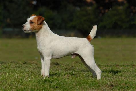 russel terrier puppy parson terrier puppies pictures information temperament characteristics