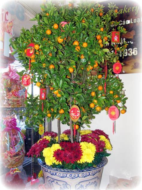 kumquat trees new year tet traditions and the lunar new year kumquat tree