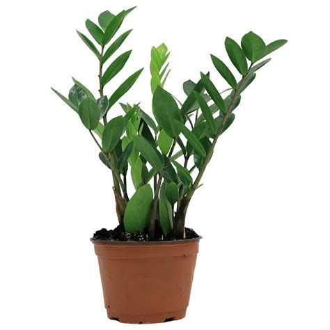 home plant delray plants zz plant in 6 in grower pot 6zz the home