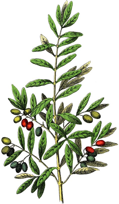 clip art free botanical olives clip art gorgeous the graphics