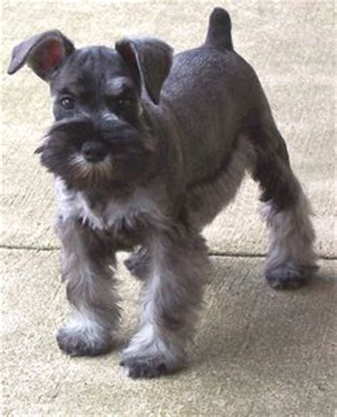 schnauzer haircuts for dogs hairstylegalleries com schnauzer haircut for a dog named jock cuties pinterest