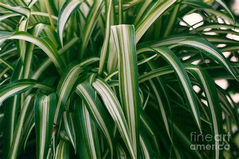 ribbon grass photograph by dan de ment