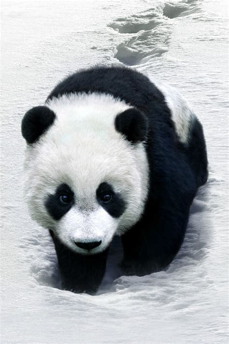 wallpaper iphone panda panda simply beautiful iphone wallpapers