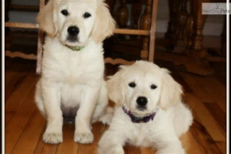 golden retriever puppies missoula dogs and puppies for sale and adoption oodle marketplace
